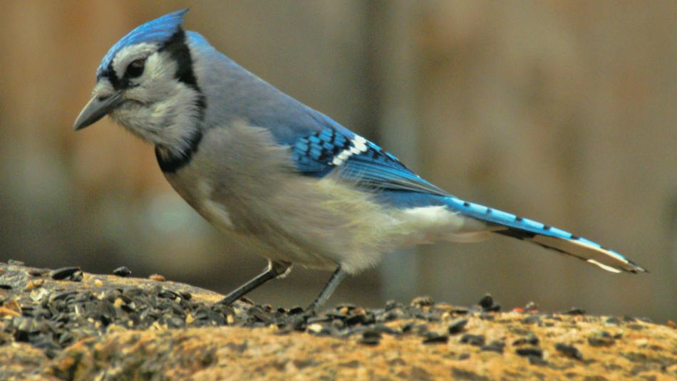 Résultats de recherche d'images pour «geai bleu femelle photo»