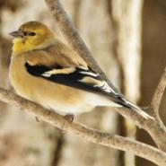 chardonneret jaune observation fou des oiseaux. Black Bedroom Furniture Sets. Home Design Ideas