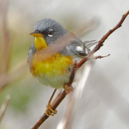 Fiches descriptives fou des oiseaux for Oiseau ventre jaune