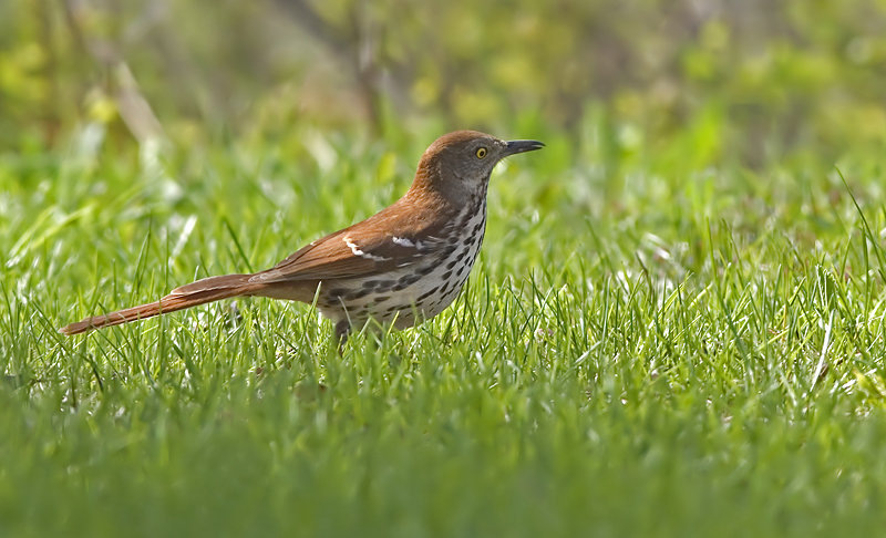 un oiseau -ajonc- 19 février bravo Martine  MoqueurRoux
